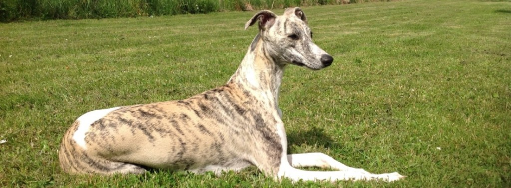 Onze Whippets